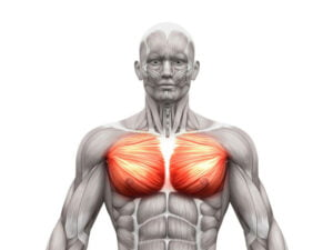 Pectorals for muscle workout